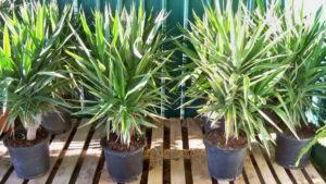 palmeras pequeñas en maceta