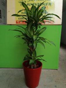 planta decorativa de interior viveros de tiza